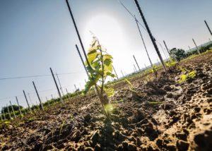 Vineyard of Weingut Reinhardt during sunrise.