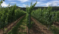 Rows of vines at Weingut Reinhardt that leads to hills in the background.