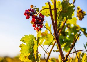Black grapes hanging from the vine of Weingut Scherner-Kleinhanss winery