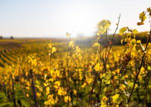 Vineyard of Weingut Scherner-Kleinhanss winery during sunset.
