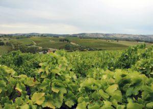 Beautiful vineyard of Willunga100 winery