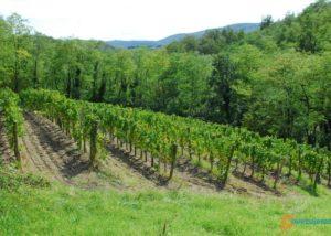 Vineyard of Zaloščan vina De Adami winery