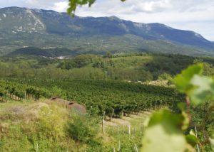 Vineyard of the Zaloščan vina De Adami winery