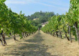 puianello e coviolo lush grapevines on vineyard near winery in italy
