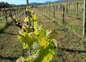 Casale Mattia vineyard full of vines located in Italy
