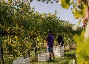 puianello e coviolo winemakers picking ripe grapes during harvest process