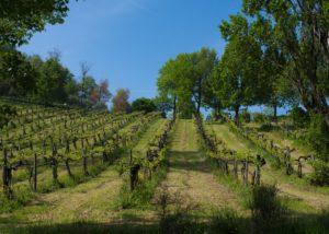 puianello e coviolo slender rows of vines on vineyard near winery