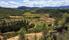 vineyard of Coca I Fito