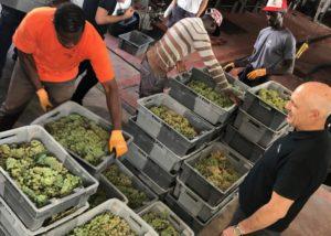 harvest at Coca I Fito