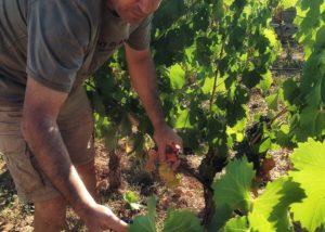 harvesting at Coca I Fito