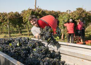 Harvest At Acetaia Leonardi - Balsamic Tours Winery