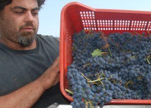 Tenuta Montiani winemaker gathering grapes of vine at vineyard