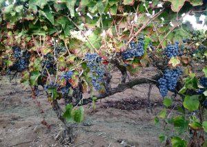 Grapes At Armosa Winery