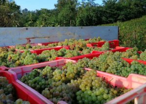 Harvest At Azienda Agricola Biologica Riccardo Vigna Winery
