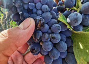 Cluster Of Grapes At Azienda Agricola Cascina Garitina Winery