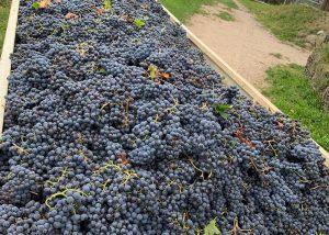 Harvest At Azienda Agricola Il Seregno Di Lonardi Maurizio Winery