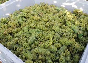 Harvest At Azienda Agricola Sgaly Di Tommaso Sgalippa Winery