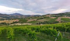 Vineyard Of Azienda Agricola Sgaly Di Tommaso Sgalippa Winery