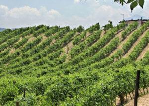 Vineyard Of Azienda Calafe' Di Petrillo Winery