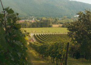 Vineyard Of Azienda Vinicola Emilio Franzoni Winery