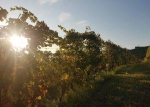 marco e vittorio slender rows of grapevines on vineyard near italian winery