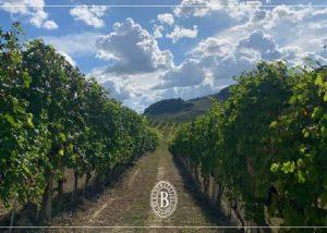 Vineyard Of Batasiolo Winery