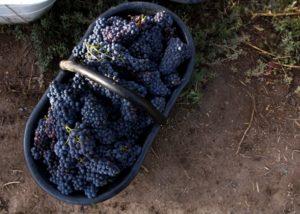 bodega aniello basket with many black grapes on the vineyards