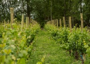 bodega aniello rows of the vines on a lush vineyards near vinery