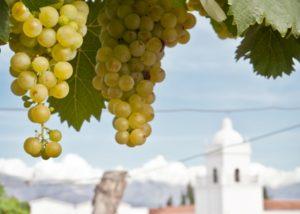 bodega el esteco white grapes on vine against beautiful estate
