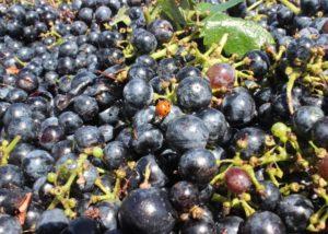 grapes during harvesting at Bodega Las Virtudes winery