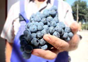 grapes in hands of Bodega Las Virtudes winemaker in Spain