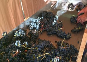 Grapes harvested at Bodega Negon vineyard in Spain