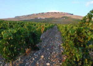 beautiful vineyard of Bodega Ramos-Paul winery in Spain
