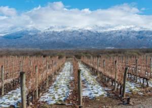 bodega salentein slender rows of vines on the vineyard in winter