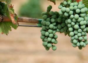 Grapes at Bodegas Al Zagal