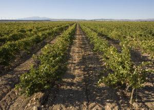 Bodegas Corellanas- vineyard 2
