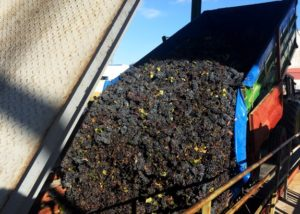 grapes during harvesting at Bodegas Fernandez vineyard in Spain