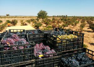 Bodegas Gratias. Familia y Viñedos harvesting process in Spain