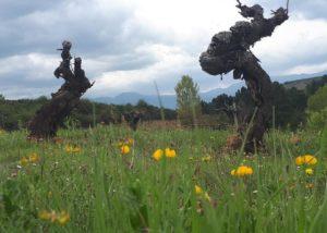 bodegas monovar old grapevines on vineyard near winery in spain