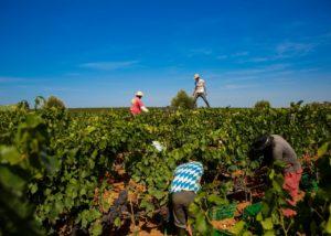 harvesting process at Bodega Vi Rei vineyard in Spain