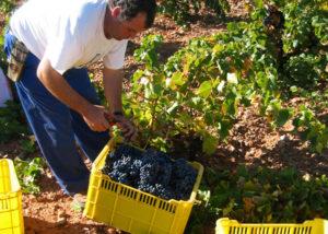 harvesting process at Bodegas y Viñedos del Jalón SA vineyard in Spain