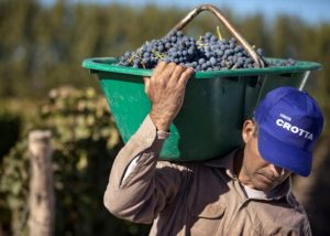 bogedas y viñedos crotta winemaker carrying basket with great black grapes