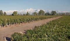 bogedas y viñedos crotta slender rows of grapevines on the lush vineyard