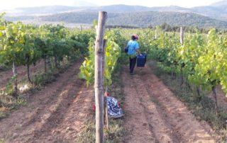 Staff Working In The Vineyard At Borovitza Winery