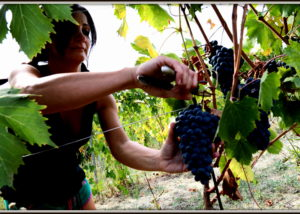 prunning vines at bruscia