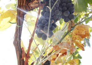 Black Grapes Of Campinuovi Winery