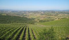 Vineyard Of Campinuovi Winery