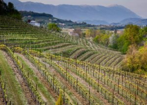 Vineyard of Cantina Bernardi winery