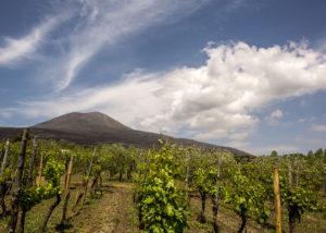Vineyard Of Cantina Del Vesuvio Winery