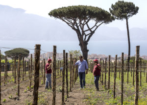 Vineyard Of Cantina Del Vesuvio- Winery